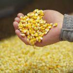 Цены на кукурузу в порту Новороссийск, Россия