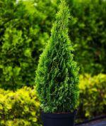 декоративные лиственные и хвойные растения