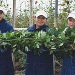 Размер розы в Эквадоре. Работники плантации с розами.