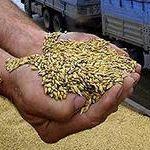 Пшеница 5 класса ГОСТ Р52554-2006