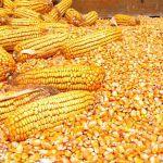 Цены на продовольственную кукурузу в Египте