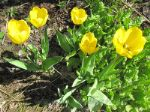 Golden Apeldoorn (Голден Апельдорн)
