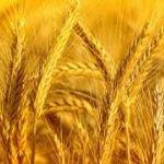 Цены на пшеницу твердых сортов в мае 2015 года