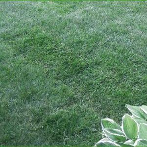 Элитный натуральный газон, мятлик 100%. Подробнее см. на сайте