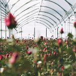 В теплице. Да, в Эквадоре розы выращивают в теплицах, что бы исключить влияние климата на цветок.