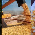 Цены на кукурузу DAP Суйфэньхэ, Китай в ноябре 2019 года