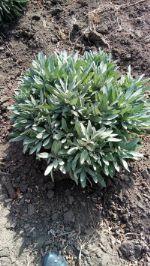 шалфей (Salvia Officinalis), органические удобрения