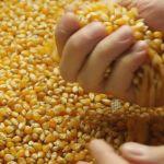 Цены на кукурузу в мае 2018 года