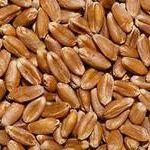 Цены на пшеницу фуражную 5 класса в декабре 2014 года