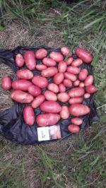 Картофель молодой Ред скарлетт оптом от КФХ