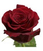 Розы Эквадор 60 см