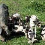 домашняя свинина оптом и в розницу