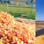 Цены на кукурузу в Иране в октябре 2019 года