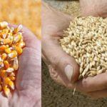 Цены на кукурузу и ячмень в Ливане и Сирии (на апрель 2018 год)