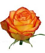 Розы Эквадор 80 см