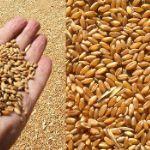 Цены на пшеницу в Сирии в мае 2019 года