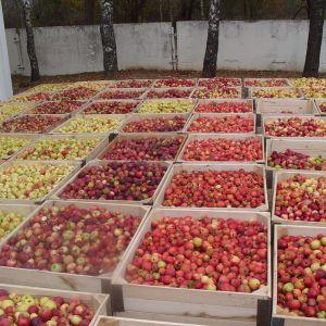 Яблоки летних, осенних и осенне-зимних сортов Фасовка в картонные короба по 13 кг