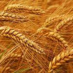 Твердая Пшеница 2 класса ГОСТ на вагоне