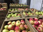 яблоки с садов