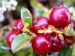 Ягоды Карелии — один из крупнейших операторов свежезамороженных ягод