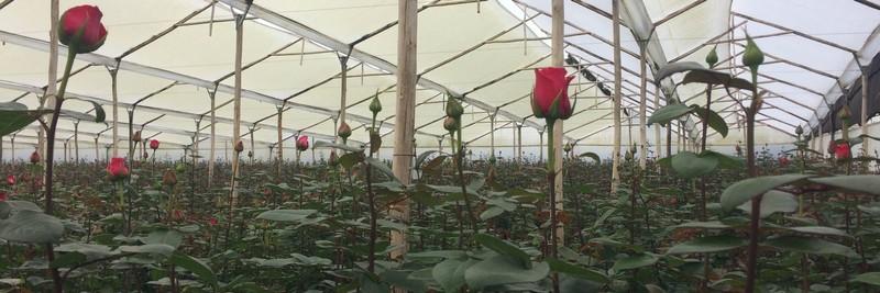 Красная роза в теплице.