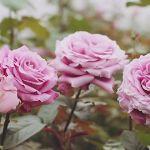 Распустившиеся розы на плантации