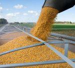 Кукуруза в Павлодаре, Казахстан corn.PKZ