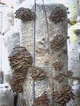 грибные блоки вешенки и шиитаке, мицелий