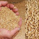 Цены на твердую пшеницу в сентябре 2018 года