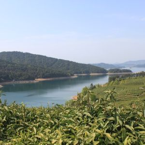 Чай растущий в заповедной зоне у озера ЦзяньДаоХоу не имеет горечи во вкусе, питаясь кристально чистой водой озера(являющейся брендом в КНР) он выдерживает несколько заварок
