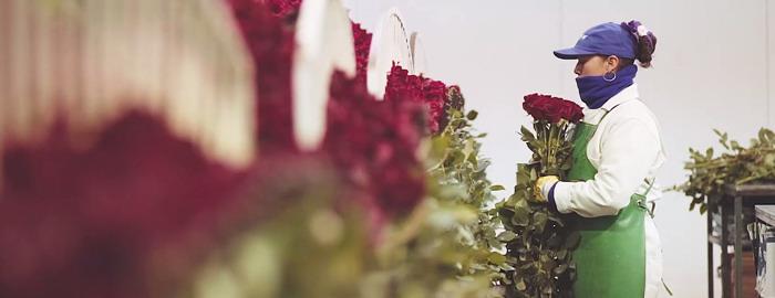 Цех обработки и упаковки цветов на плантации. Здесь происходит сортировка и упаковка роз.