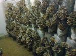 Грибные блоки свежие грибы вешенка