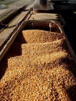 Кукуруза DAP Китай corn.CHY